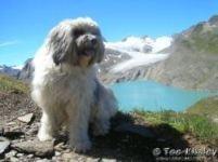 Storia del tibetan terrier